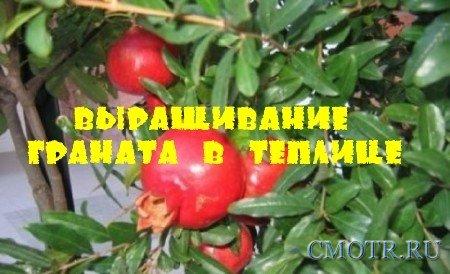Выращивание граната в теплице (2013) DVDRip